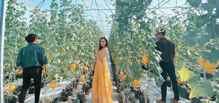 Vườn dưa lê dưa lưới Út Phong - Châu Đốc