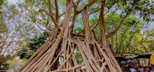 Cây da 1000 năm trại ruộng Thới Sơn