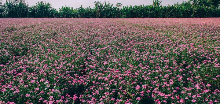 Cánh đồng hoa dừa cạn Phú Tân